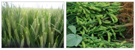根瘤菌           根瘤菌是指与豆科植物